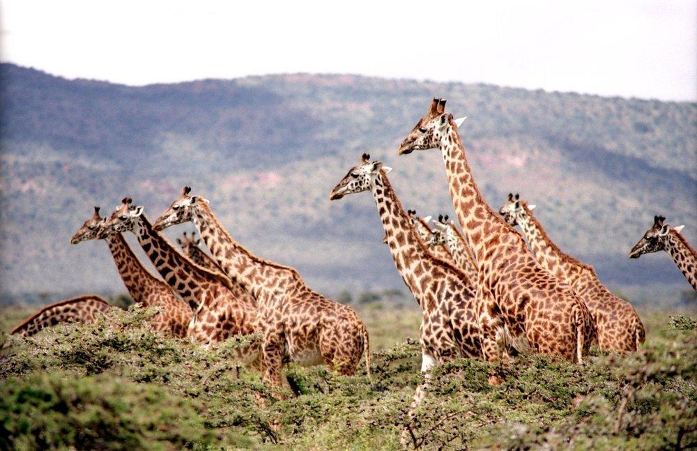 Giraffen auf einer Safari-Tour in Südafrika